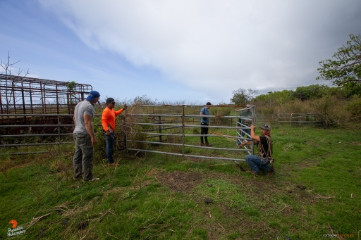 "Axel, Kaina Ito, Ronsten ""Boy"" Andrade, and Uka move sections of a temporary corral, in preparation for receiving cattle, while Philip Montgomery of the NY Times Magazine, documents the process for an essay on the eruption."