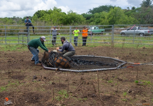 Boy and Jake try to wrestle and untangle a cow from the rig's netting...