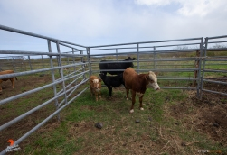 The cattle are defensive and stressed after their capture and flight, but will be transported to a safe environment soon.