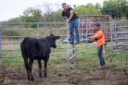 Uka and Kaina attempt to coax a cow into a chute so she can be loaded into a trailer.