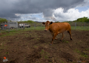 A rescued bull runs around corral, showing his aggressive nature before being loaded into a trailer.